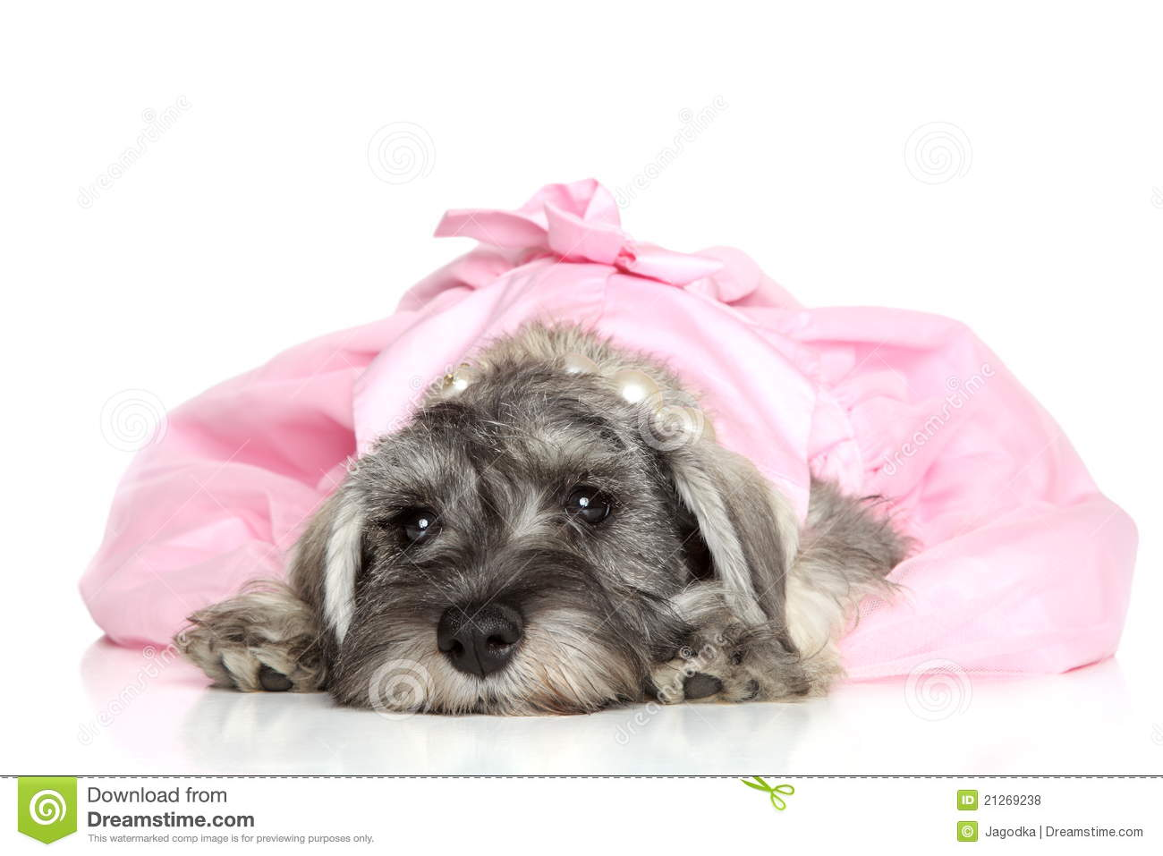 Miniture Schnauser Dog Images Free Download