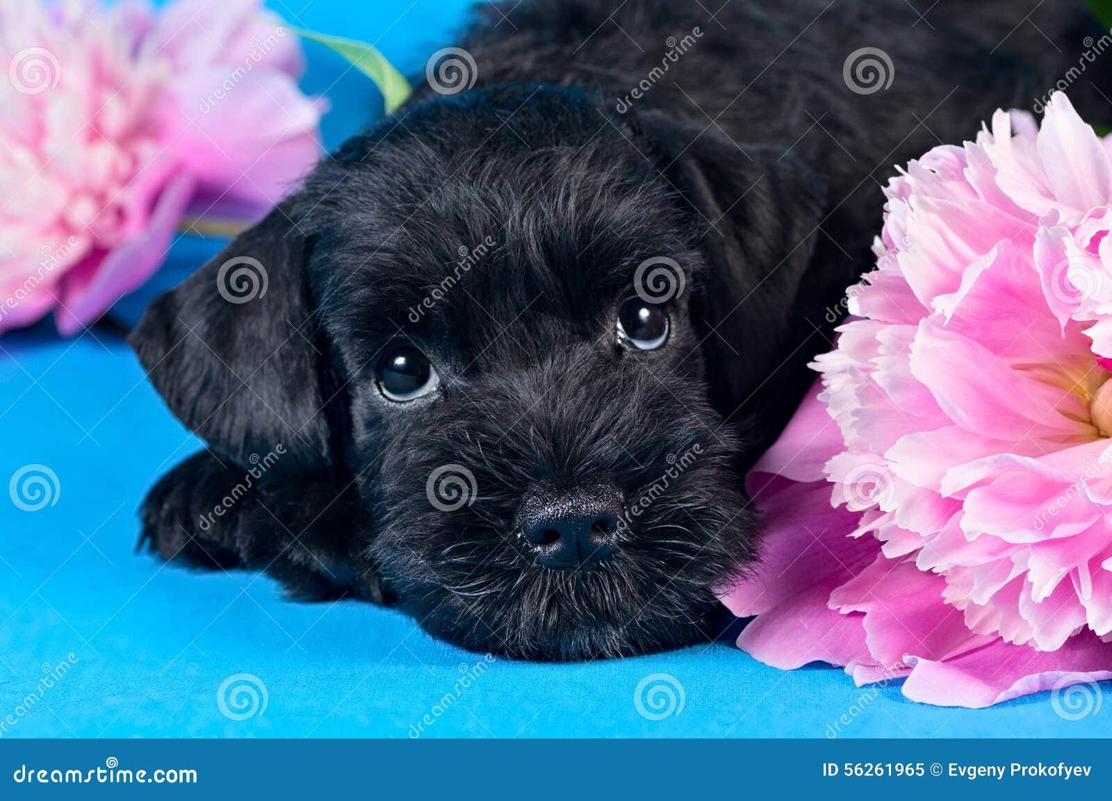 Miniature Schnauzer puppy among flowers