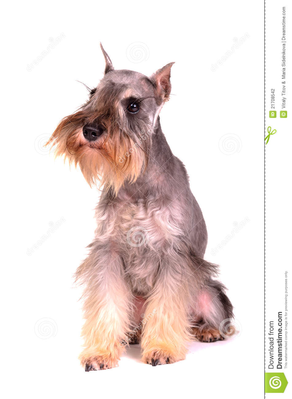 miniature and standard schnauzer puppies in basket royalty schnauzer clipart free schnauzer clipart forever