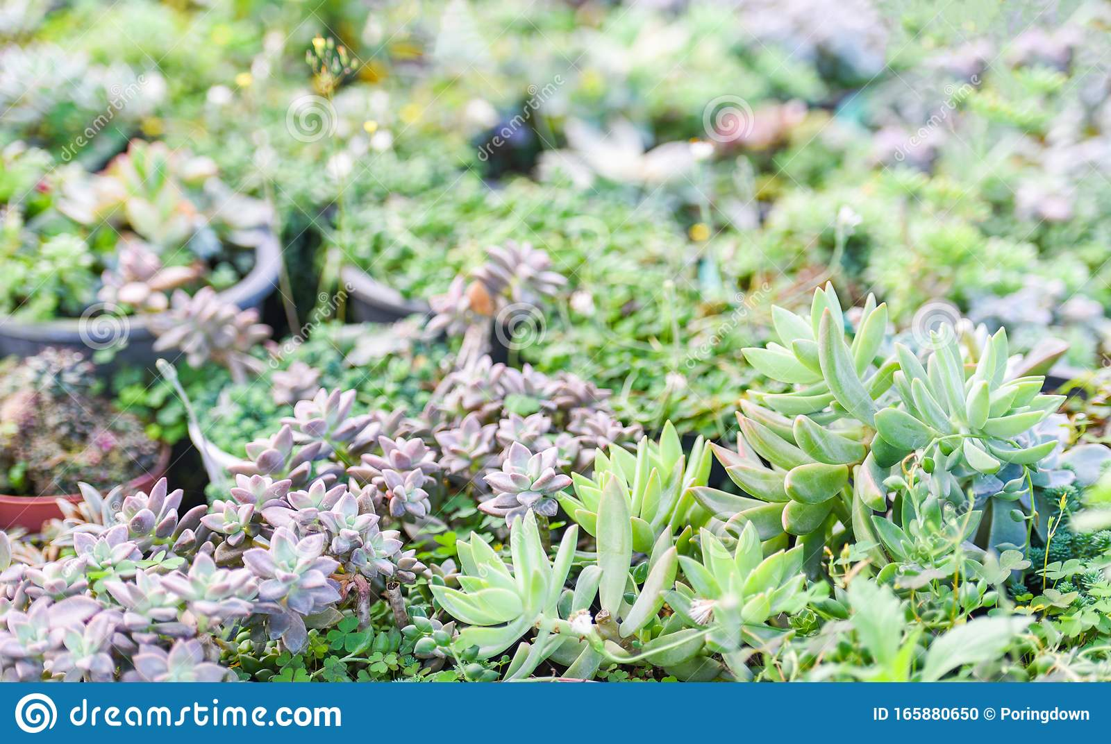 Miniature Succulent Plants Decorate In The Garden Various Types