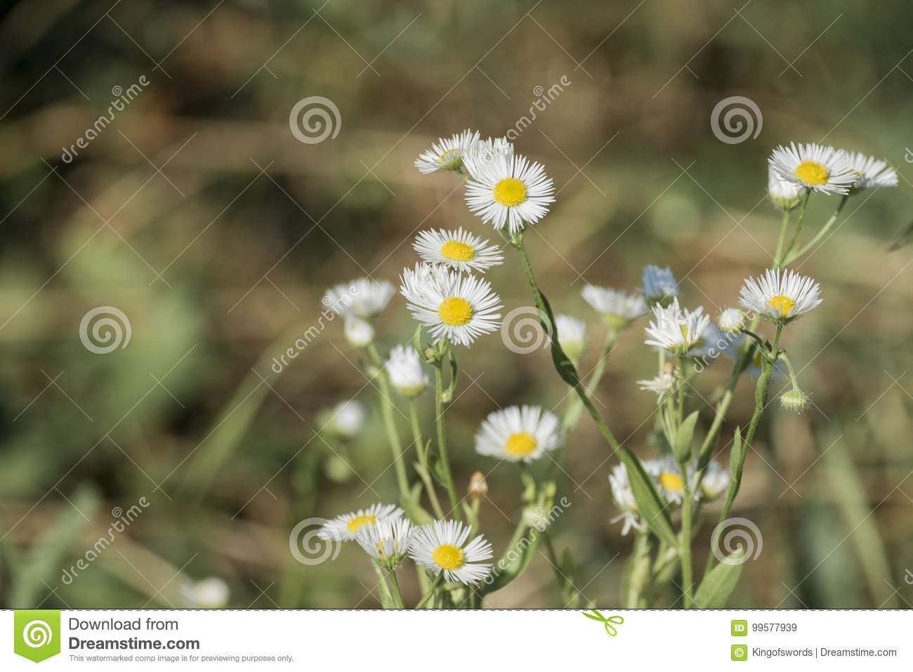 Miniature White Flowers With Small Petals And Yellow Centers
