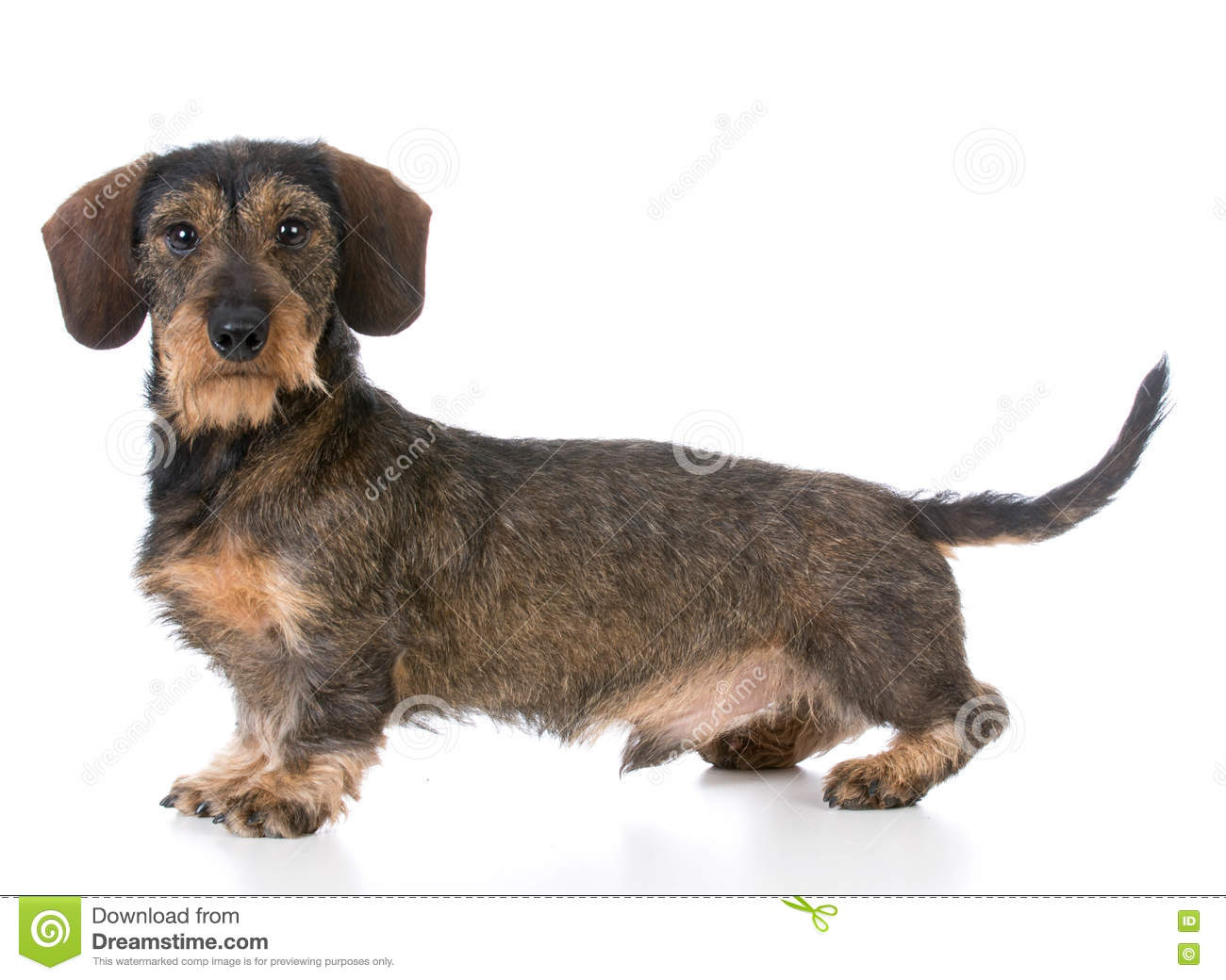 Miniature Wirehaired Dachshund Stock Photo - Image of brown ...