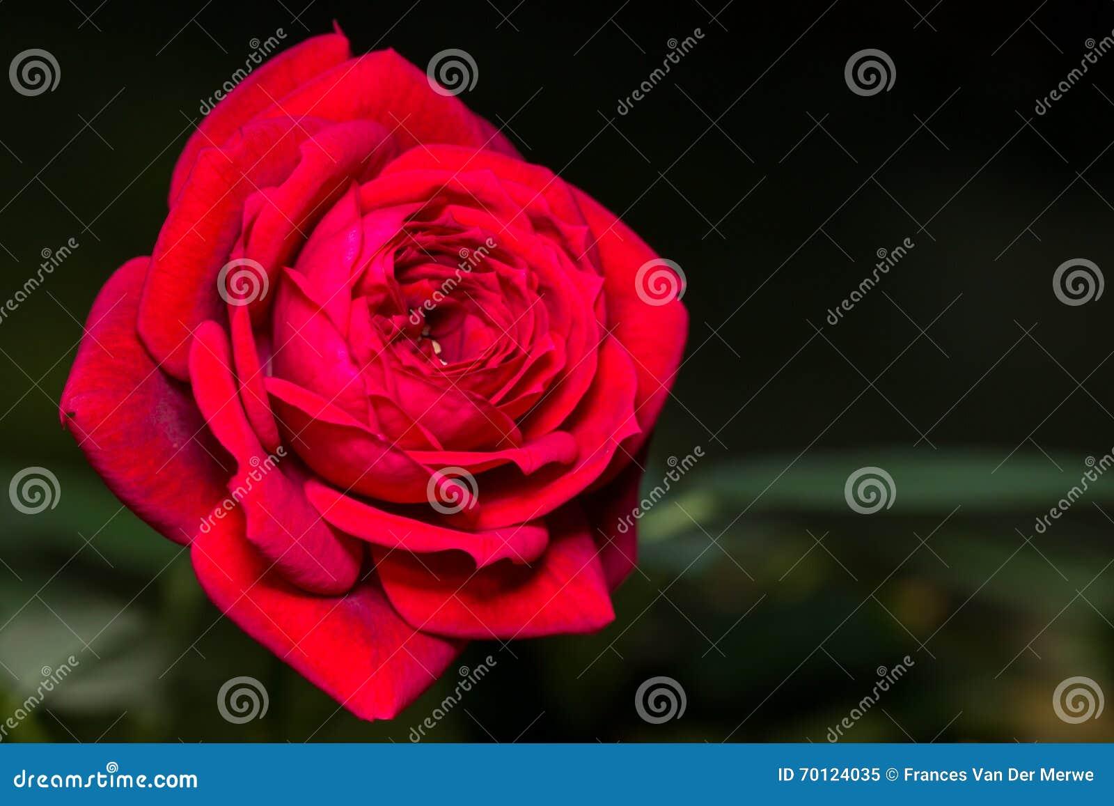 Miniaturowa czerwieni róża