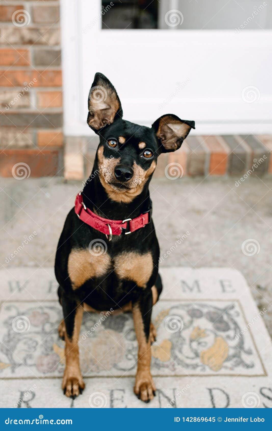 Miniaturowego Pinscher psa powitania portret
