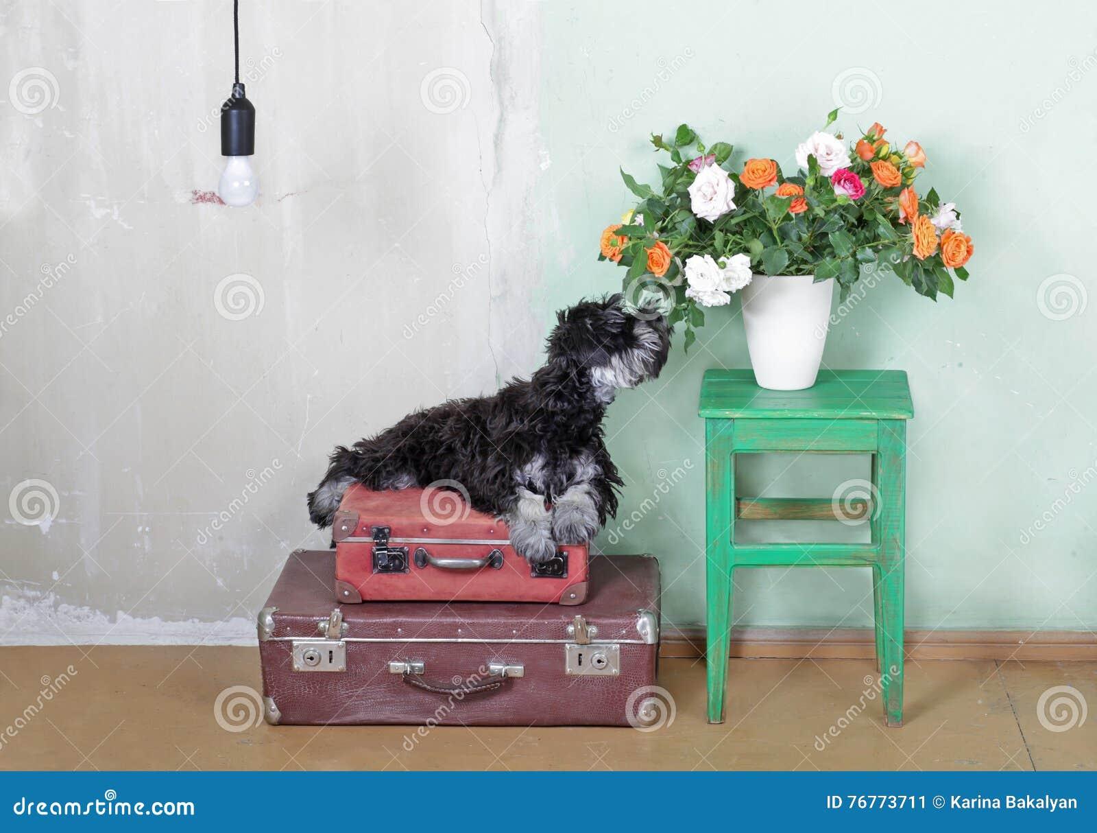 Miniaturowego Schnauzer szczeniaka obsiadanie na walizkach i wąchać