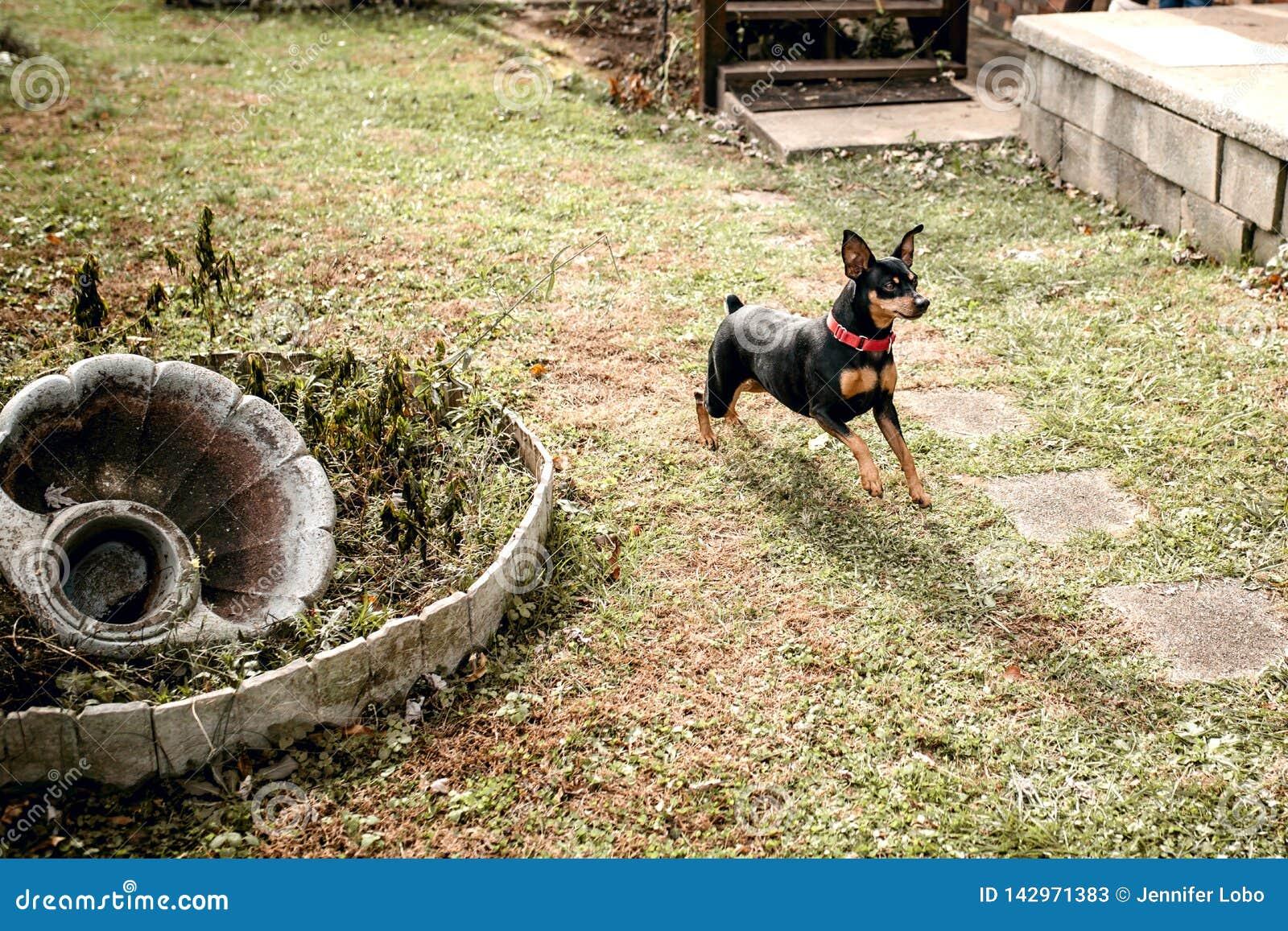 Miniaturowy Pinscher bawić się w podwórko