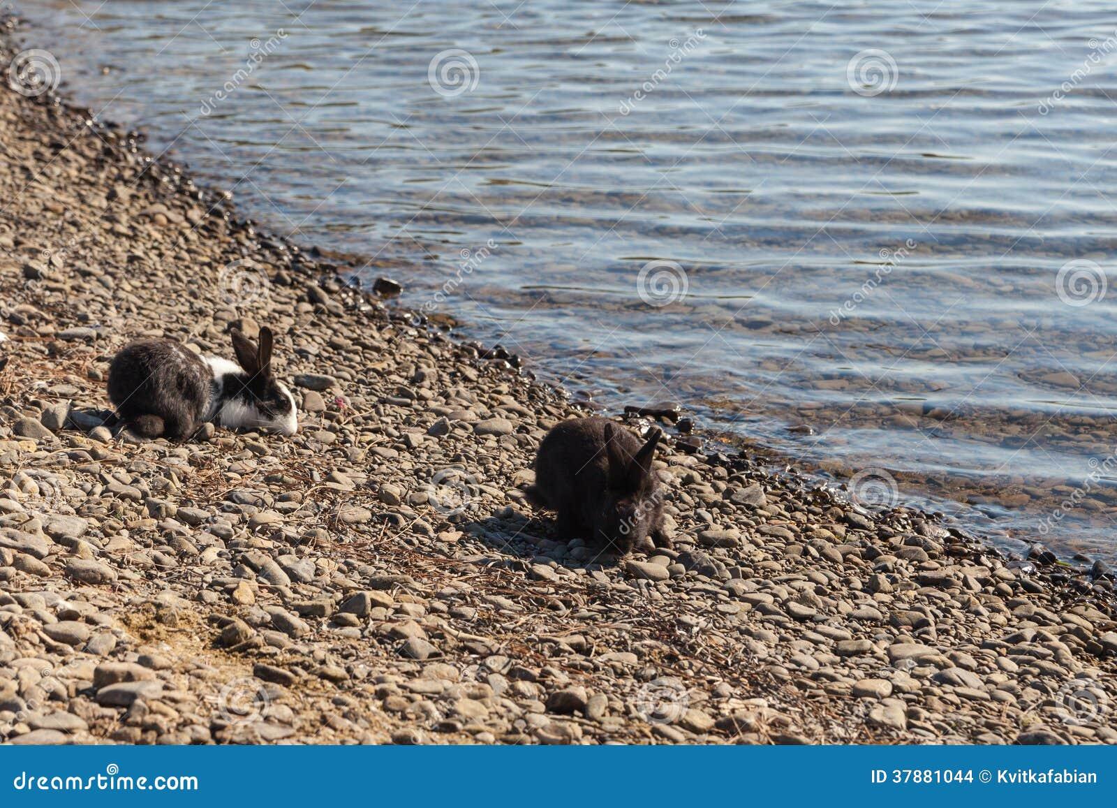 Miniatuurkonijnen die op aard weiden
