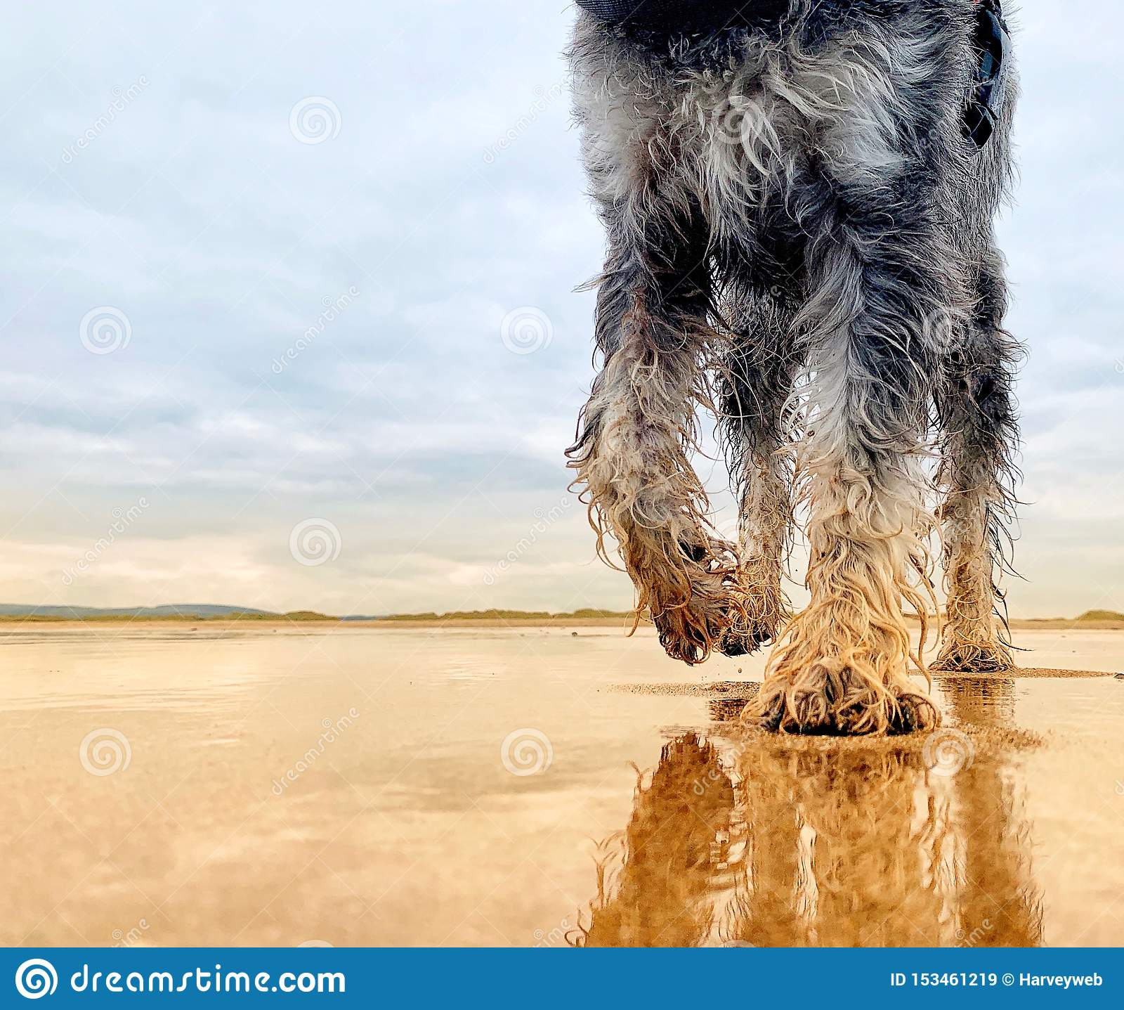 Miniatuurschnauzer-hond die op verlaten zandig strand lopen