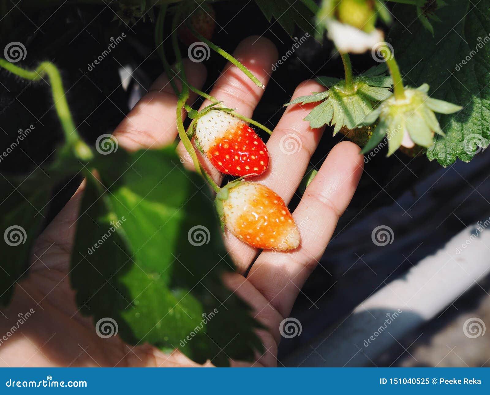Minierdbeere in der Hand