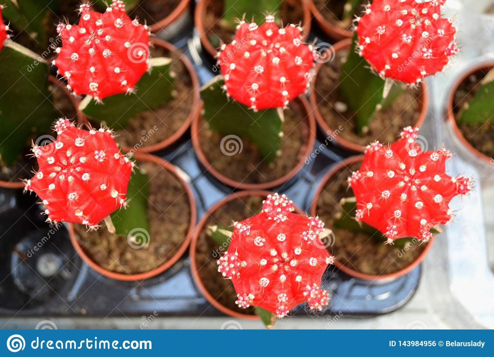 Minimal plant art. Red cactus of Gymnocalycium