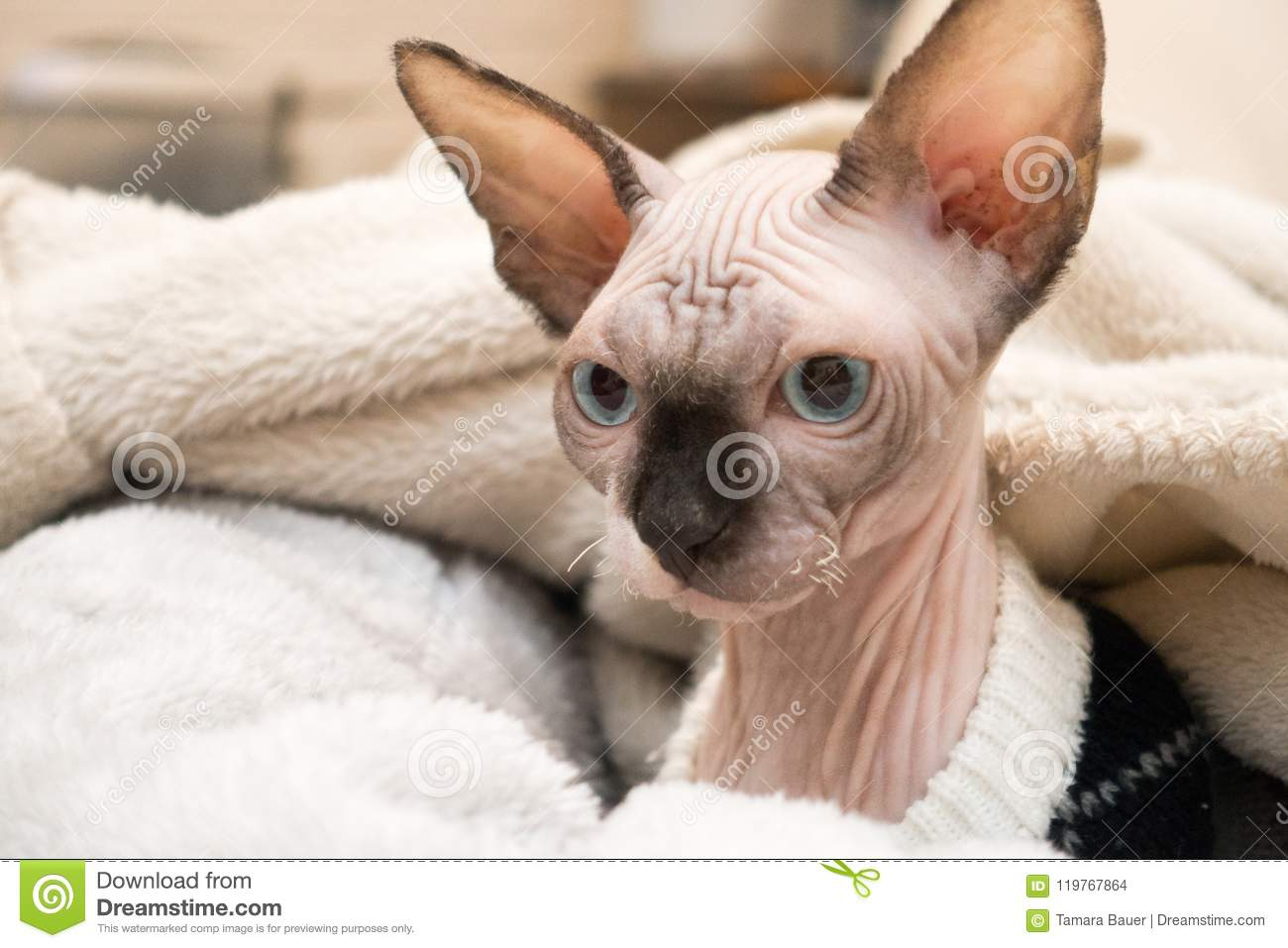 Sphynx Kitten Lying In Blankets Stock Photo - Image of bald