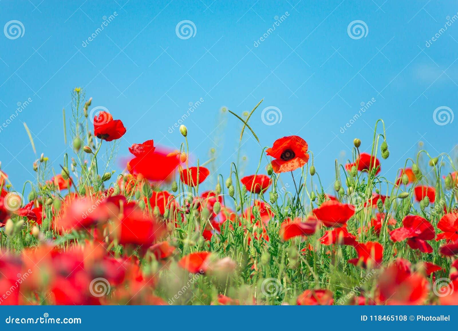 Minnedag, Anzac Day, serenitet Opiumvallmo, botanisk växt, ekologi Vallmoblommafält som skördar Sommar och vår, la