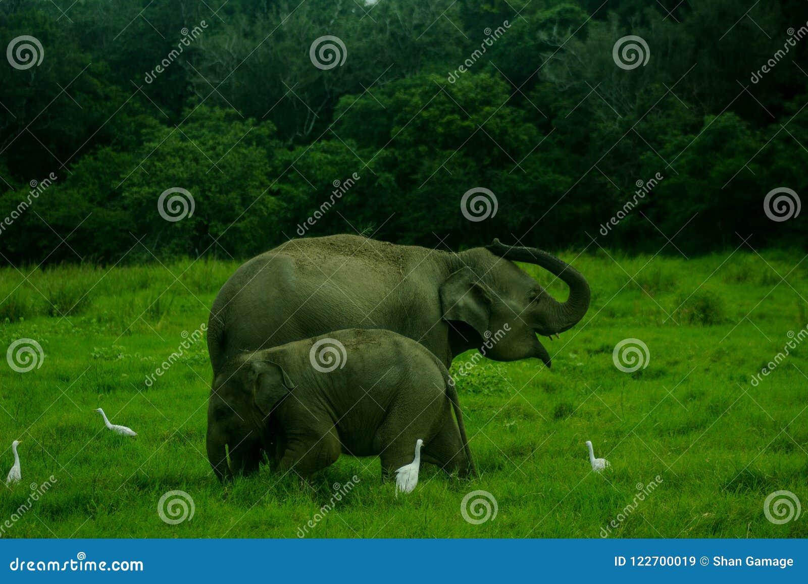 Asian wild Eliphant - Sri lanka minneriya national park