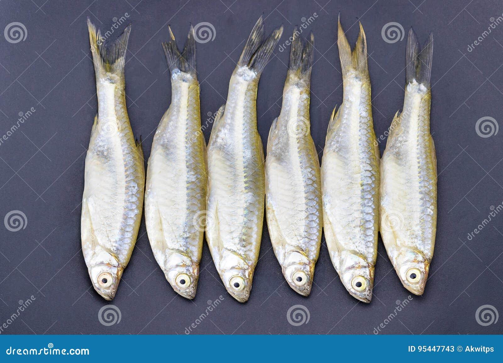 Minnow Apollo Shark Fish Scientific Name Is Luciosoma