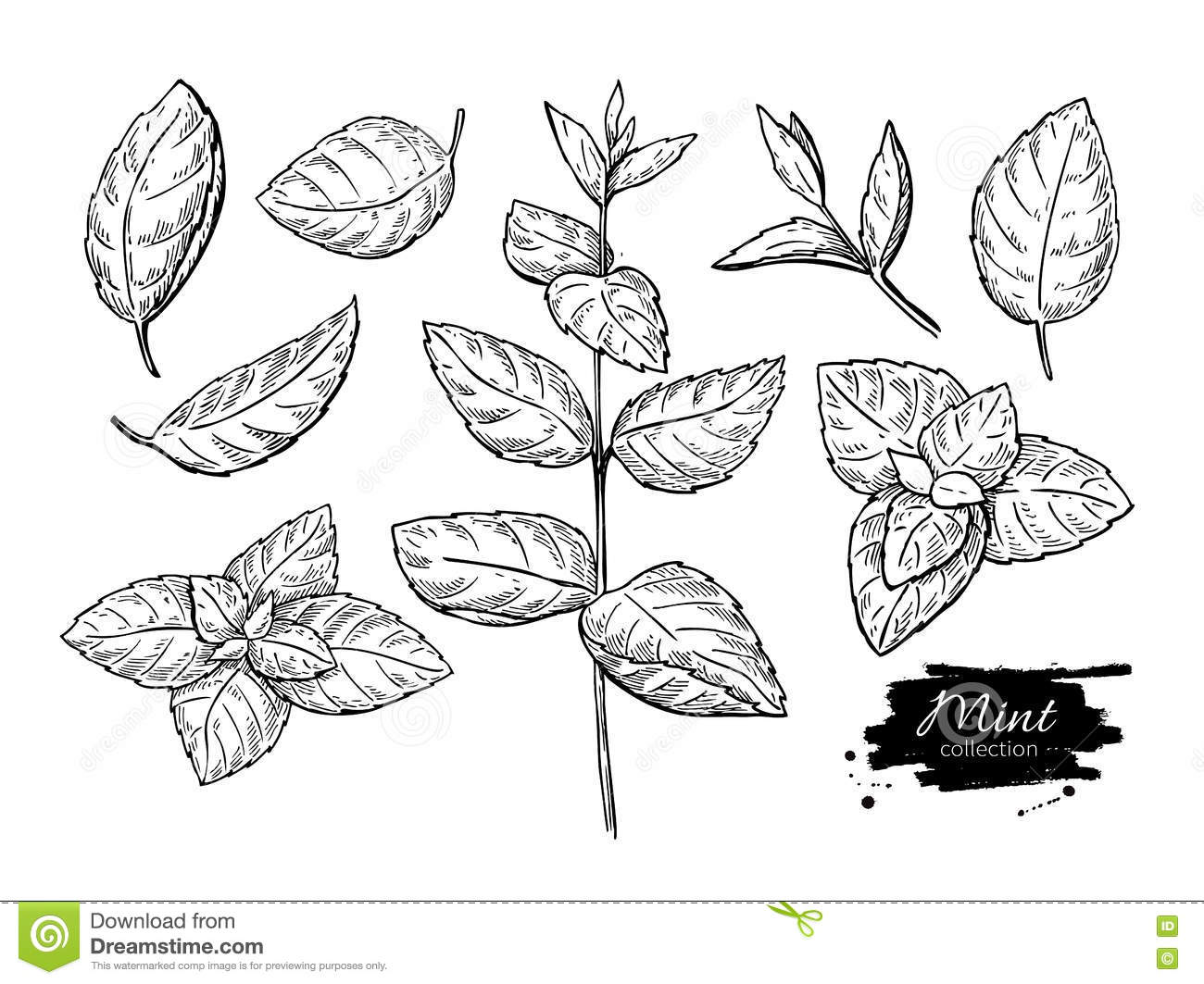 Mint Drawing Set  Isolated Mint Plant And Leaves  Herbal