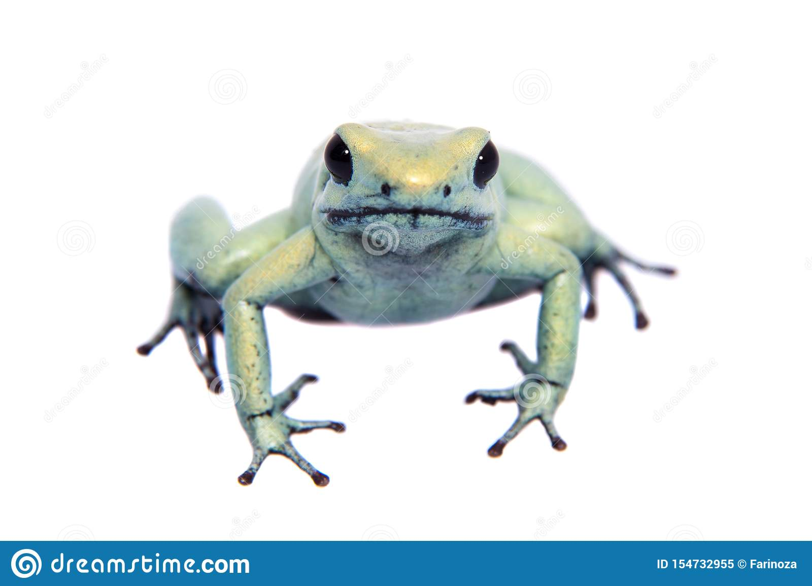 Mint golden poison frog on white background