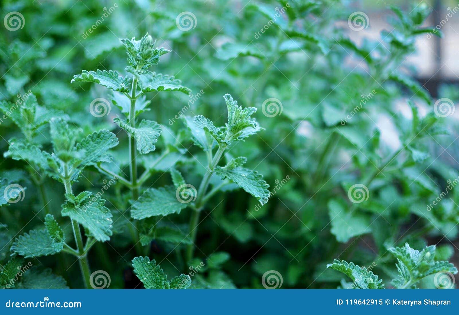 Mint Herb Growing Outdoor In A Garden, Mediterranean Herbs, Clos ...