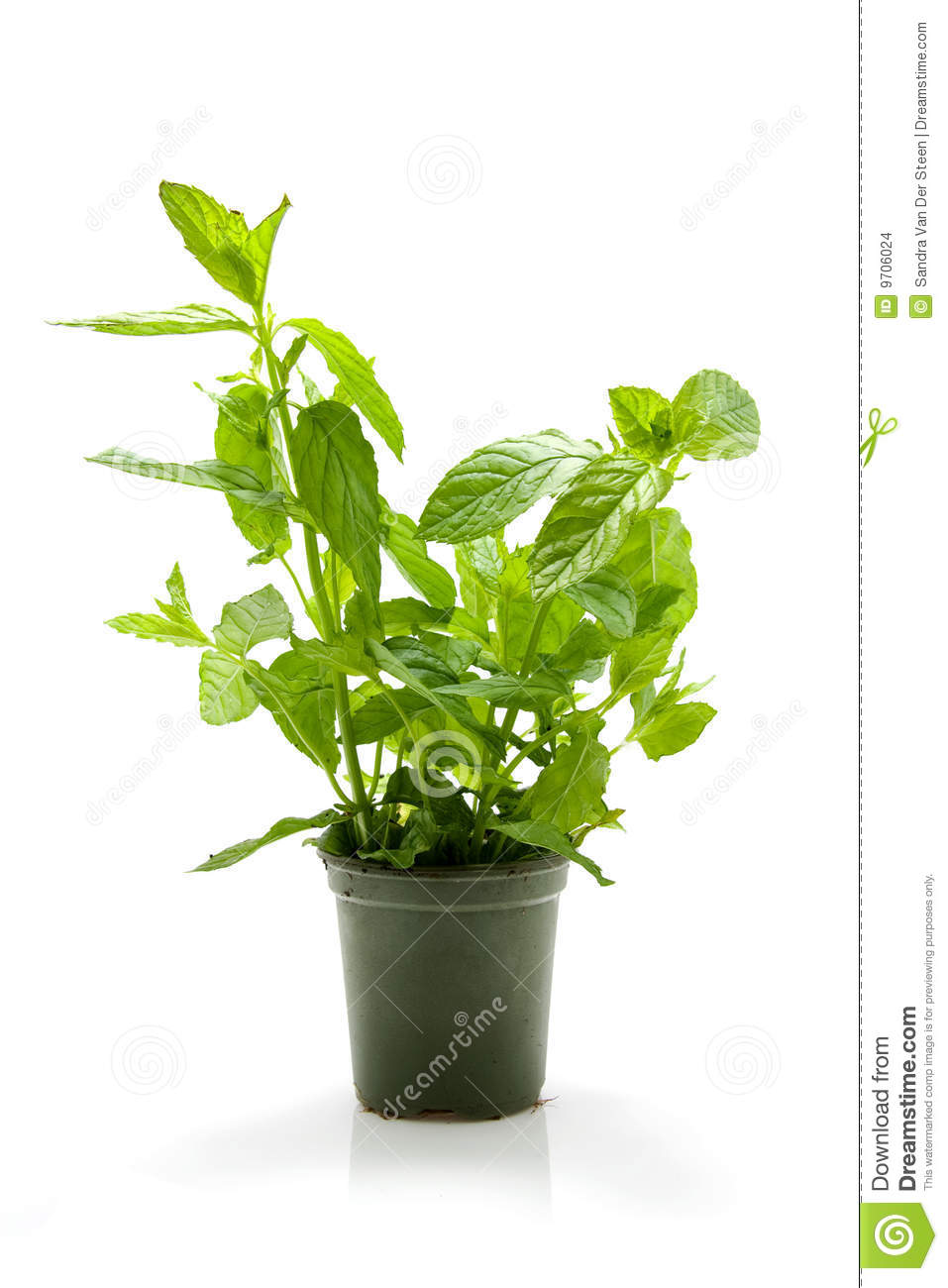 Mint plant in pot stock photo image of taste freh food 9706024 - Seven tricks for healthier potted plants ...