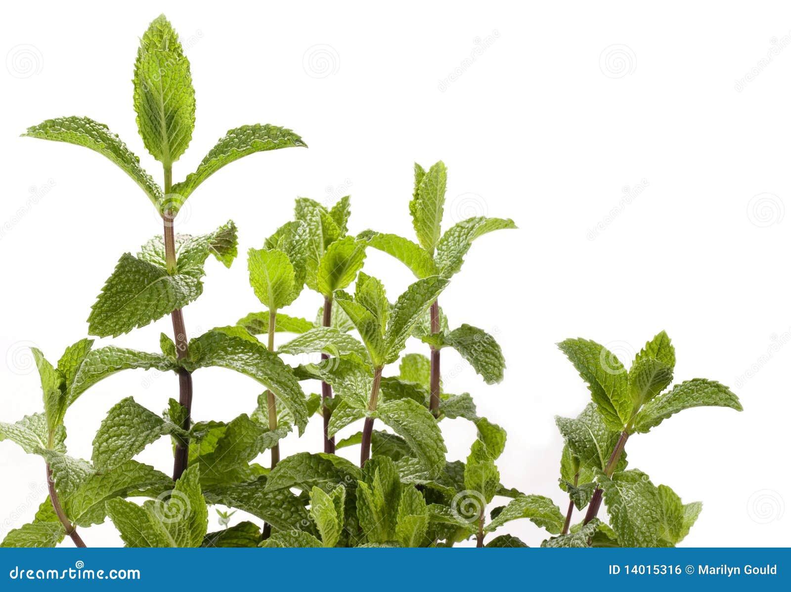 Spearmint Herb