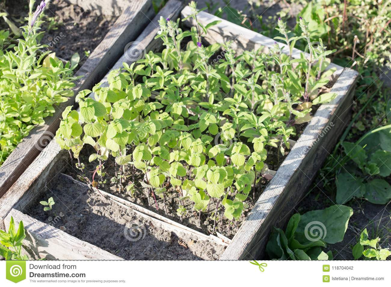 Mint And Sage Culinary Herb Seedlings Stock Photo Image Of Crate