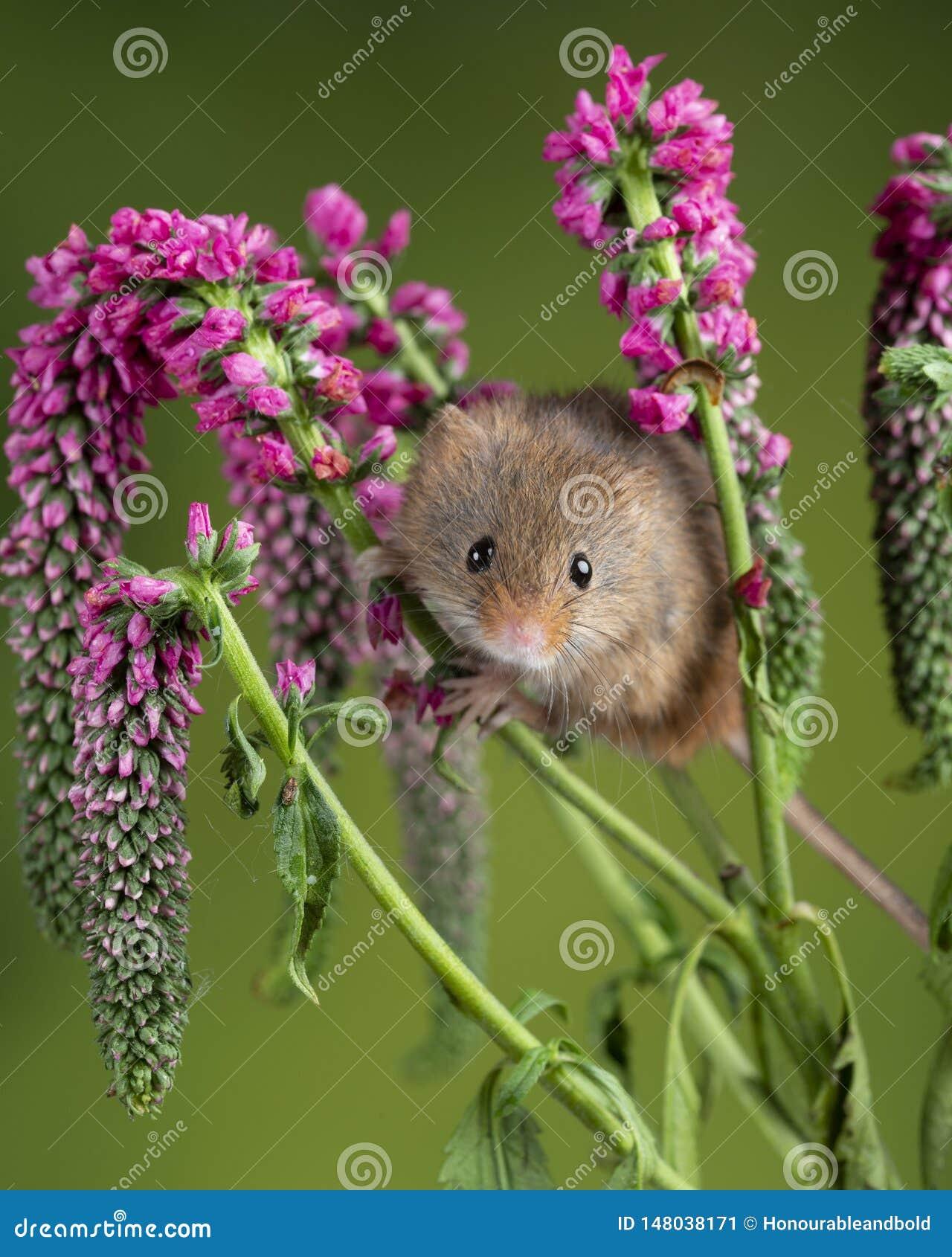 Minutus lindo adorable de los micromys del ratón de cosecha en follaje rojo de la flor con el fondo verde neutral de la naturalez