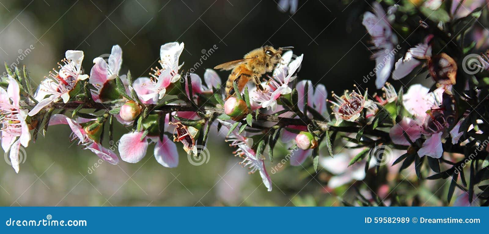 Miodowa pszczoła na Manuka kwiacie