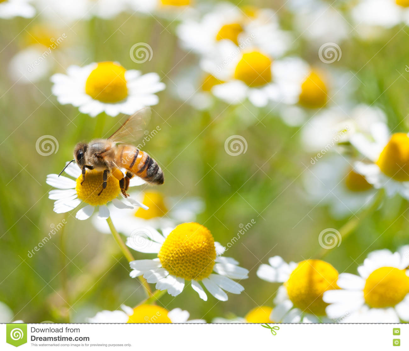Miodowe pszczoły na kwiacie