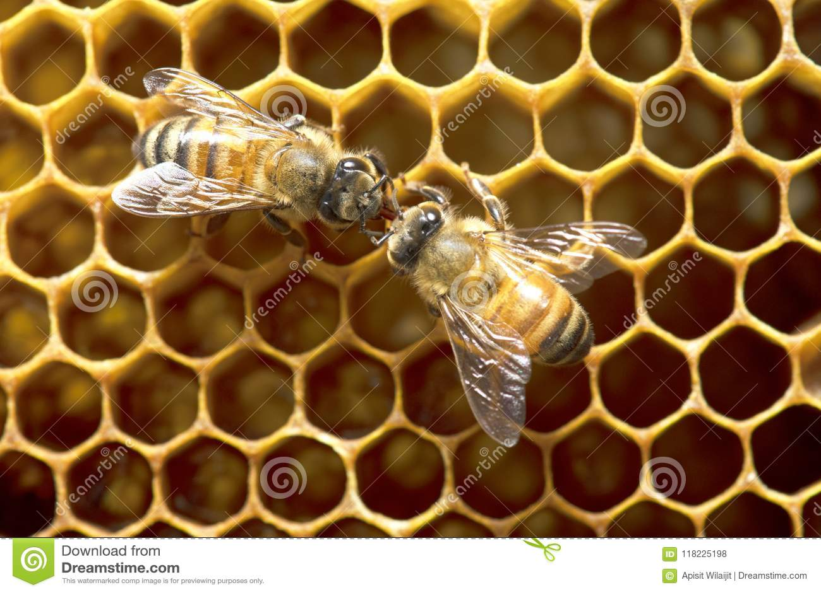 Miodowe pszczoły na pszczoła roju w Tajlandia i Azja Południowo-Wschodnia