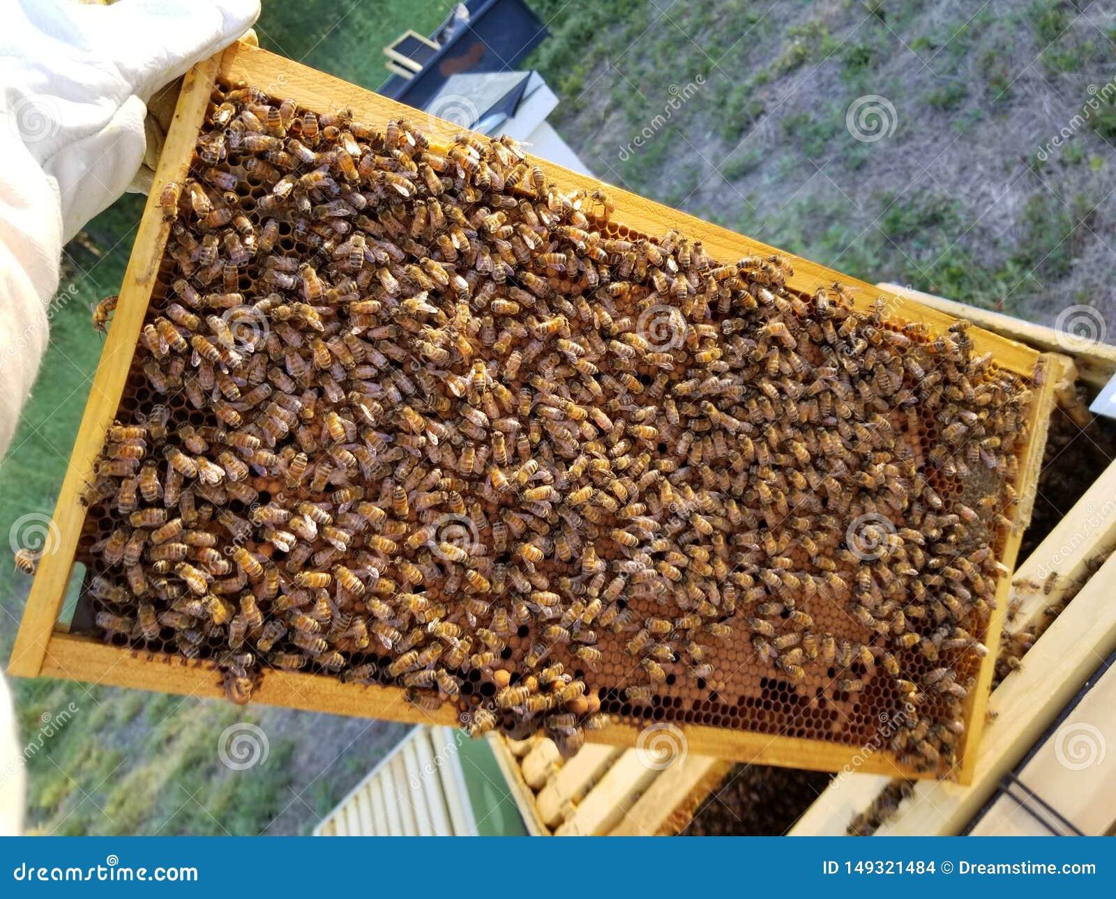 Miodowe pszczo?y w Teksas