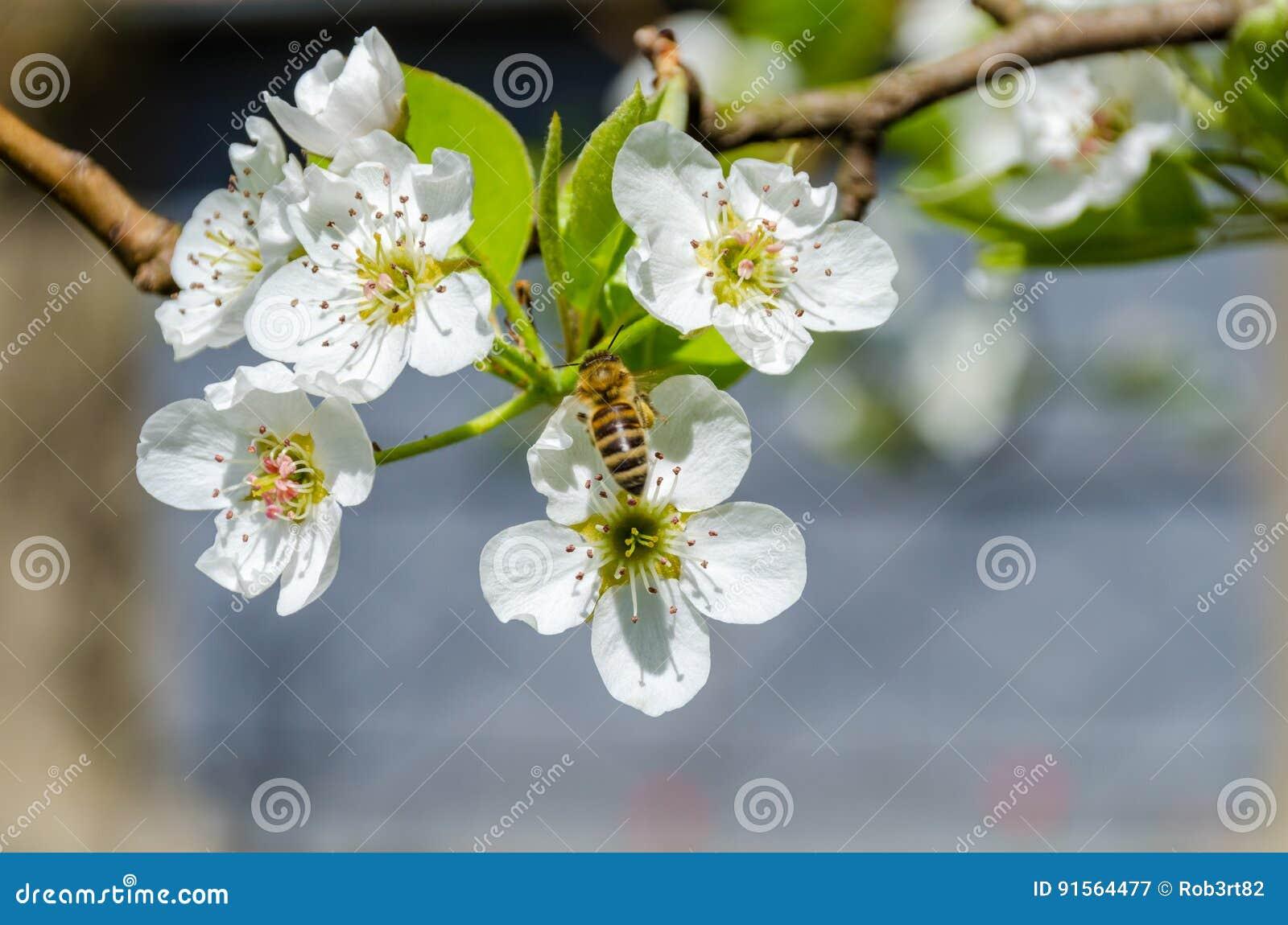 Miodowej pszczoły zbieracki nektar na białym bonkrety drzewie kwitnie przy wiosną
