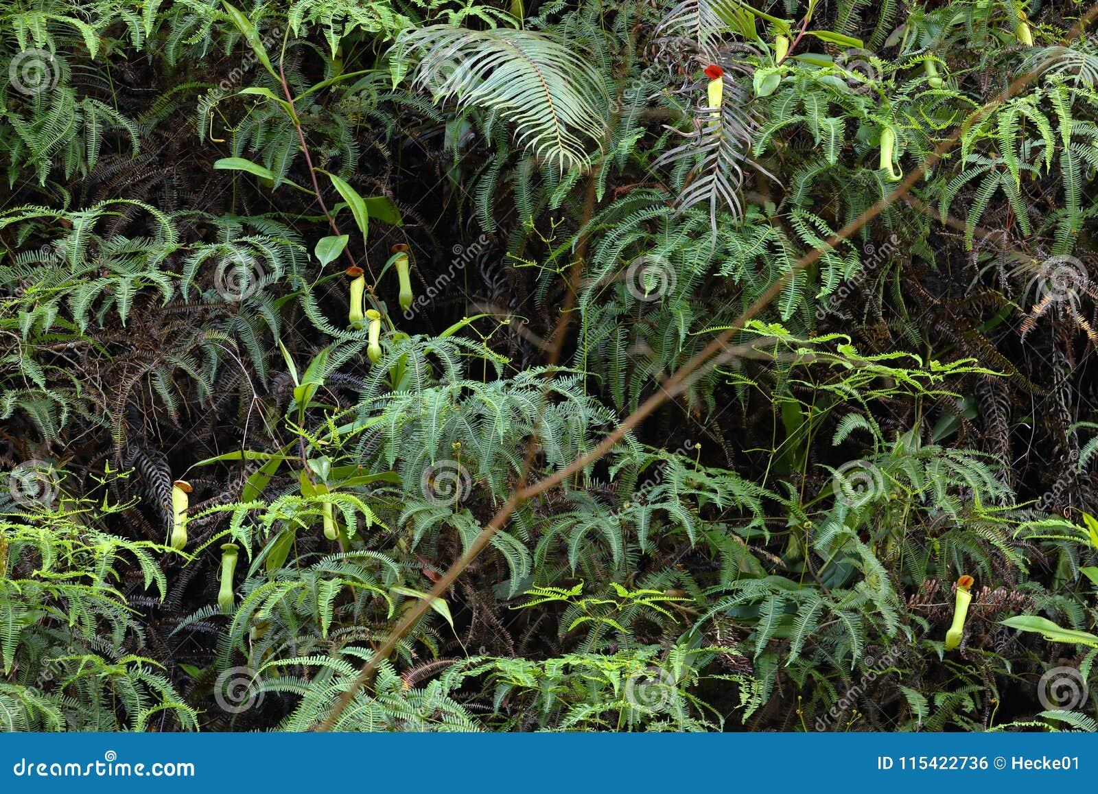 Miotacz roślina w Sinharaja dżungli Sri Lanka