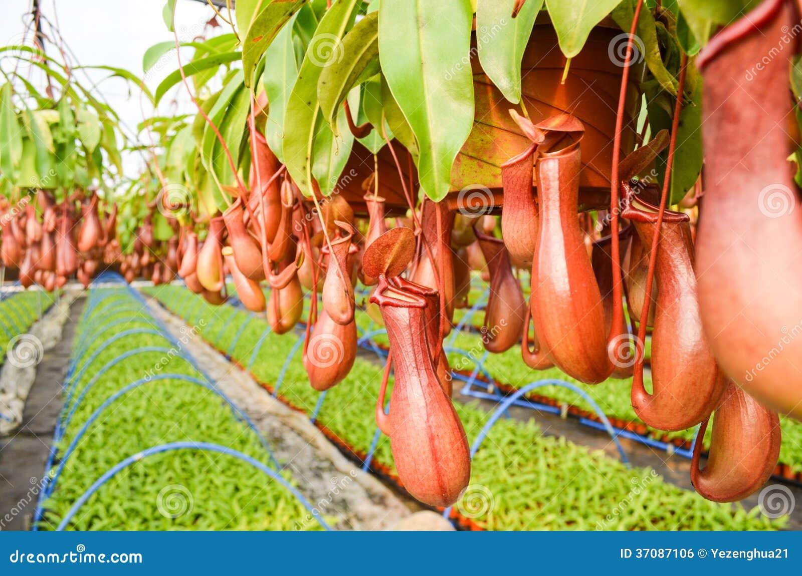 Download Miotacz rośliny w szklarni zdjęcie stock. Obraz złożonej z charcica - 37087106