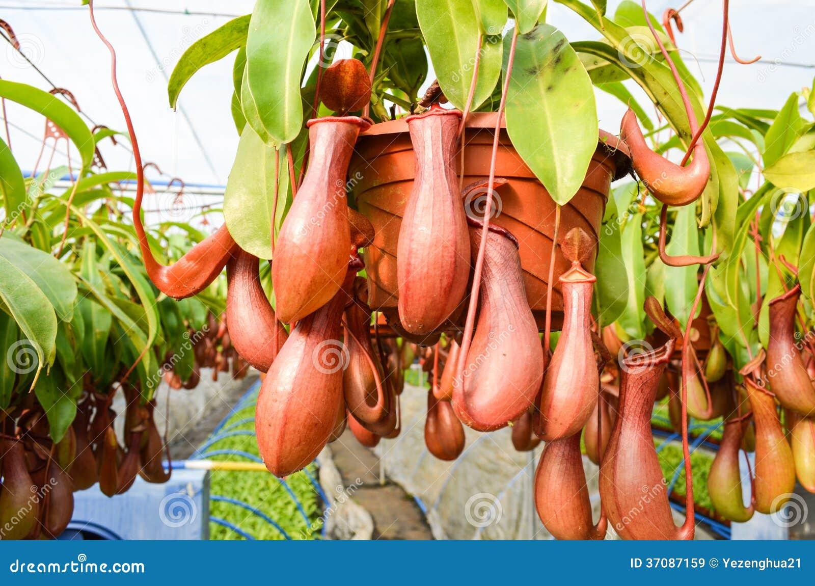 Download Miotacz rośliny w szklarni obraz stock. Obraz złożonej z orchidea - 37087159