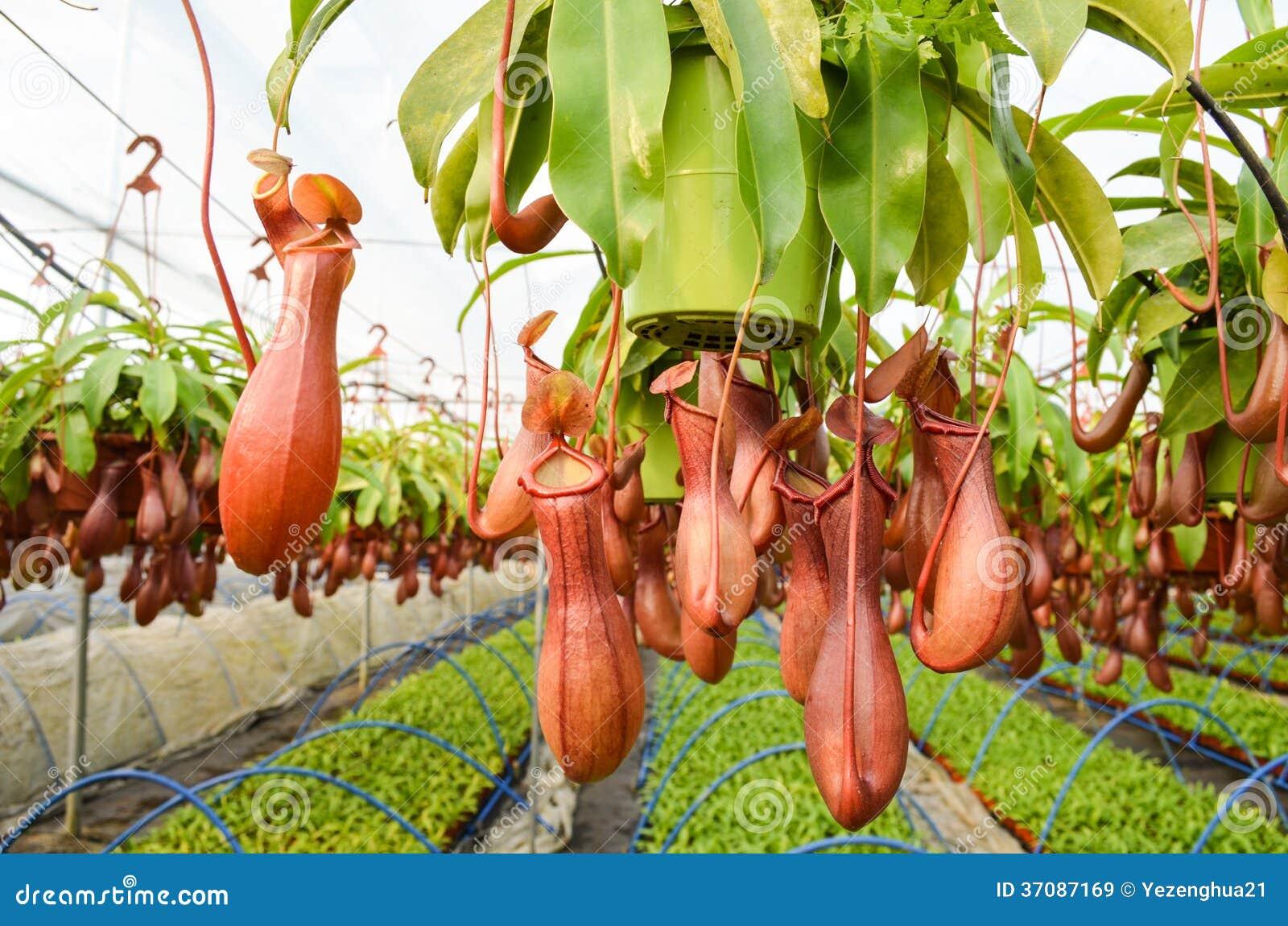 Download Miotacz rośliny w szklarni obraz stock. Obraz złożonej z czerwień - 37087169
