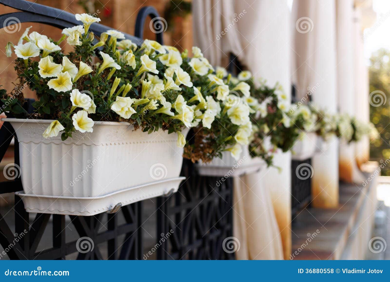 Download Mirabilis bianco in vaso fotografia stock. Immagine di verde - 36880558