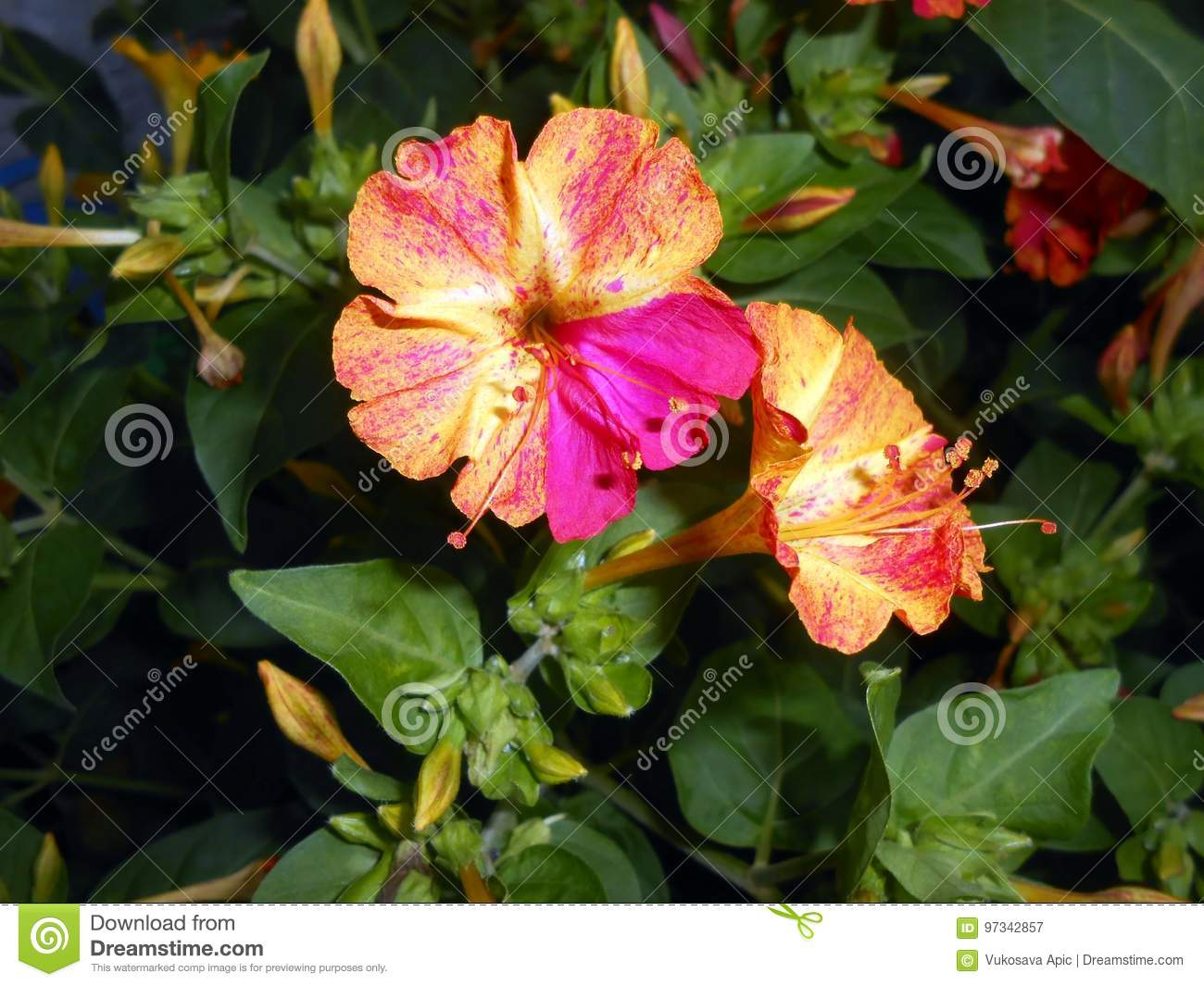 Mirabilis Jalapa Four Oclocks Fragrant Flowers Stock Image Image