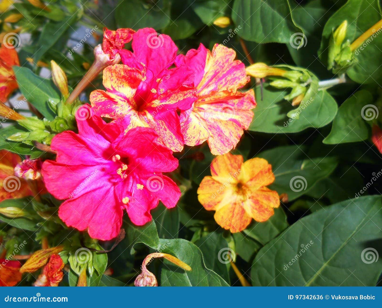Mirabilis Jalapa Vier Wohlriechende Blumen O Uhren Stockfoto