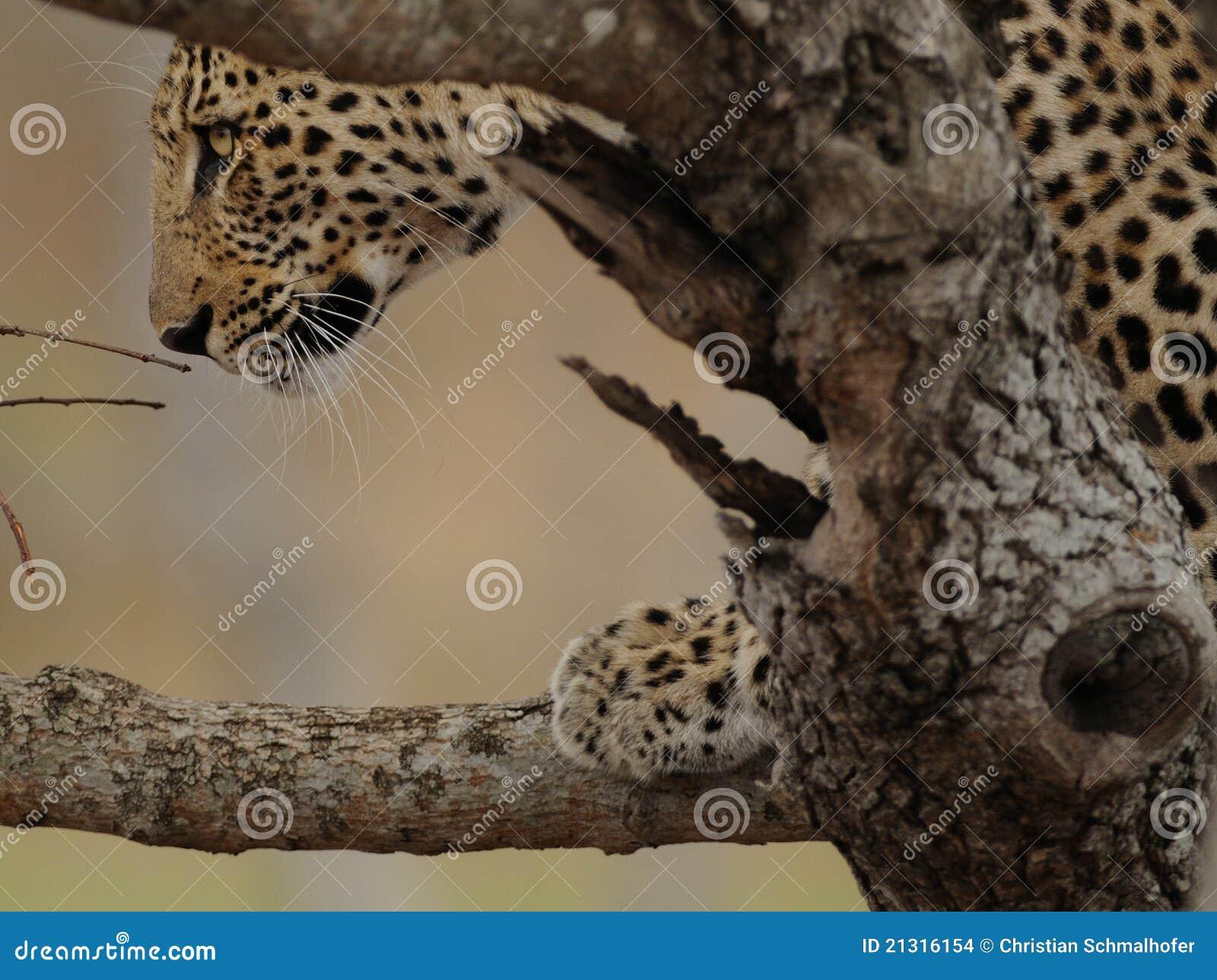 Mirada del leopardo en un árbol