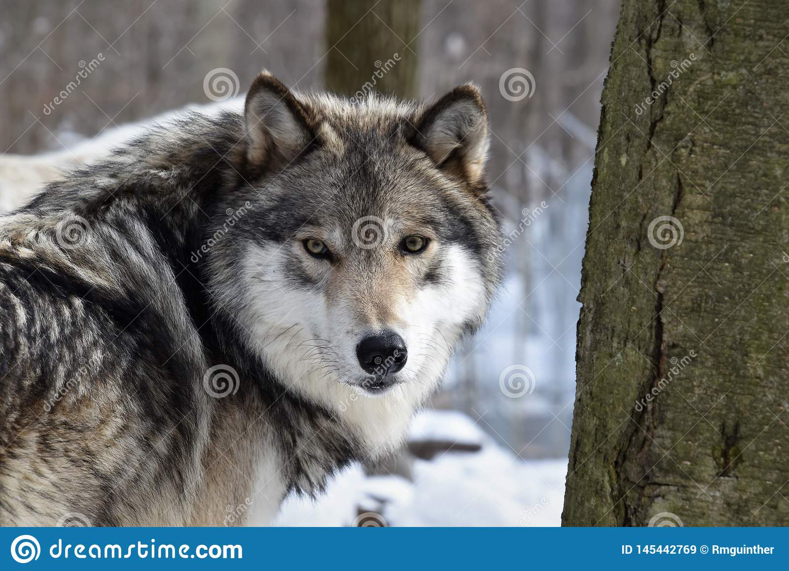 Mirada en los ojos de un lobo de madera