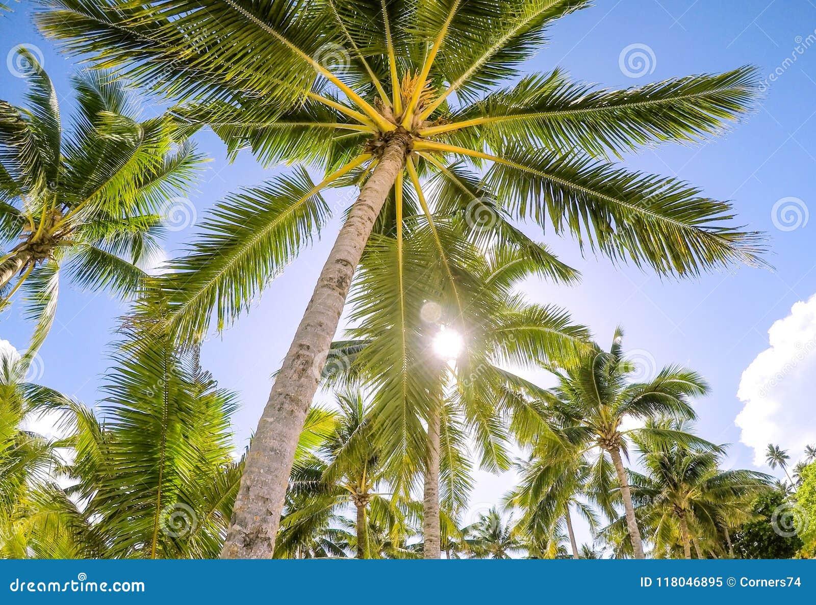 Mirada para arriba a través de la sol de oro en una plantación a de la palmera