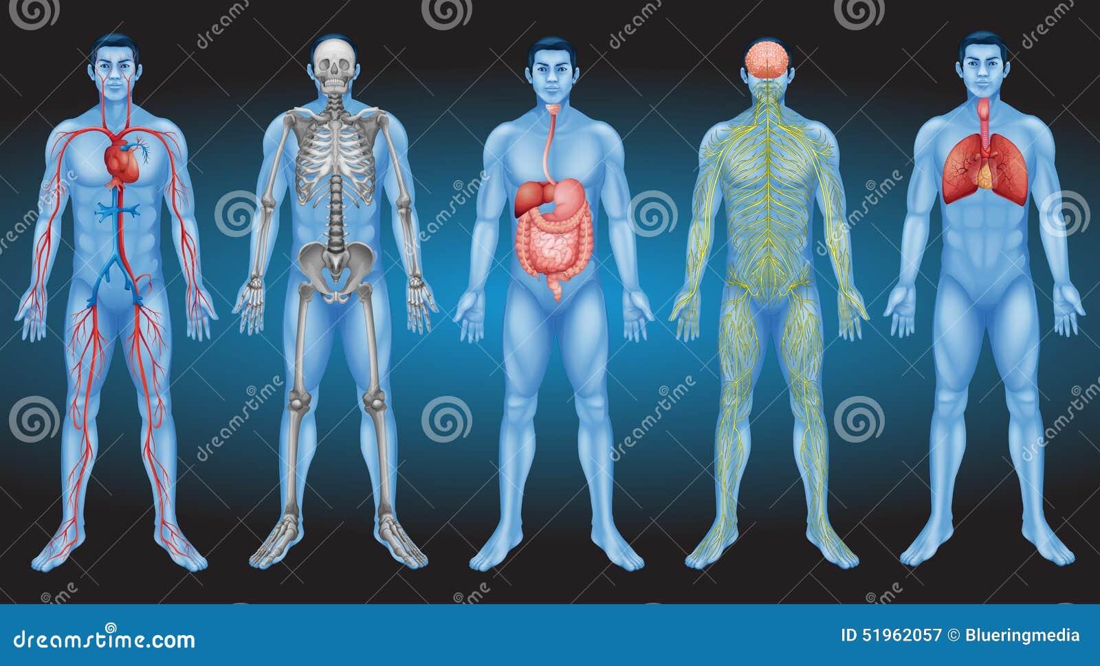 Mire El Cuerpo Humano Interior Ilustración del Vector - Ilustración ...