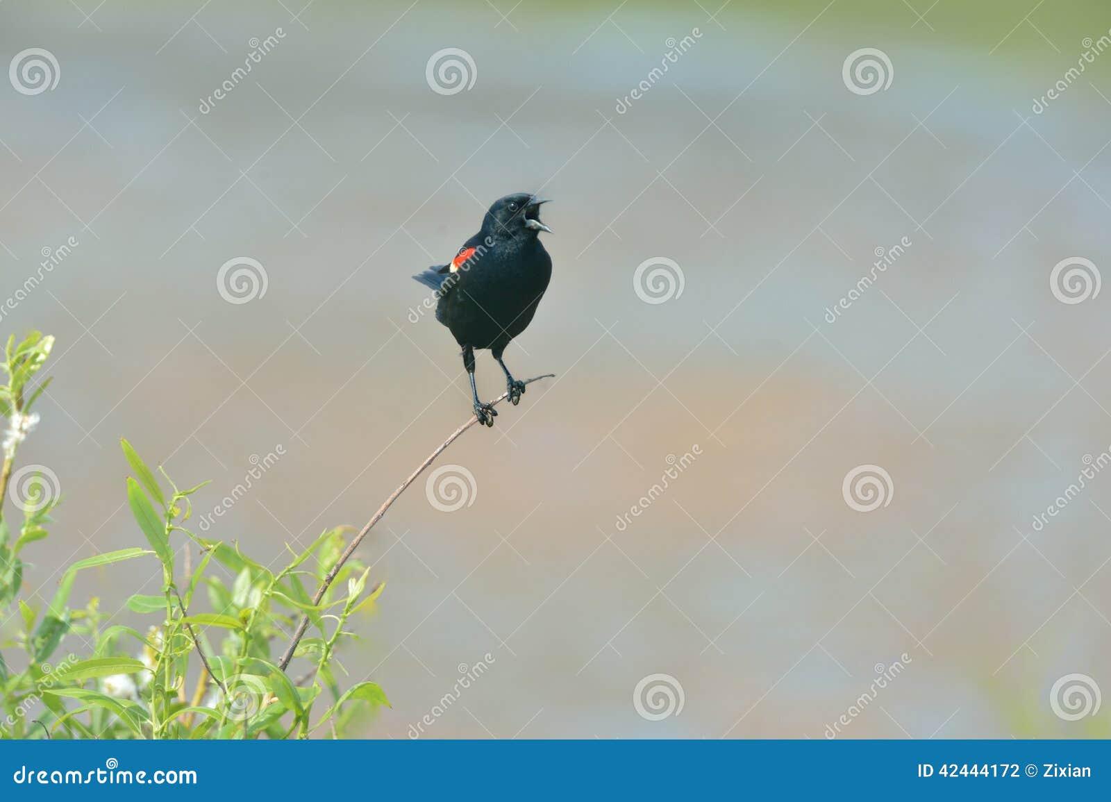 Mirlo de alas rojas