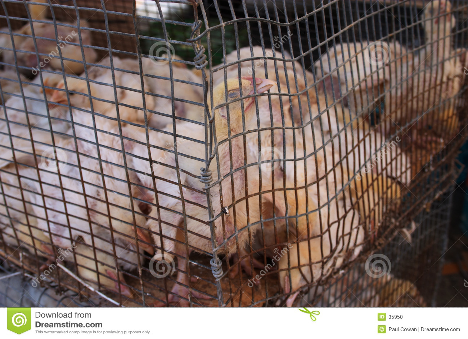 Misbruikte kippen