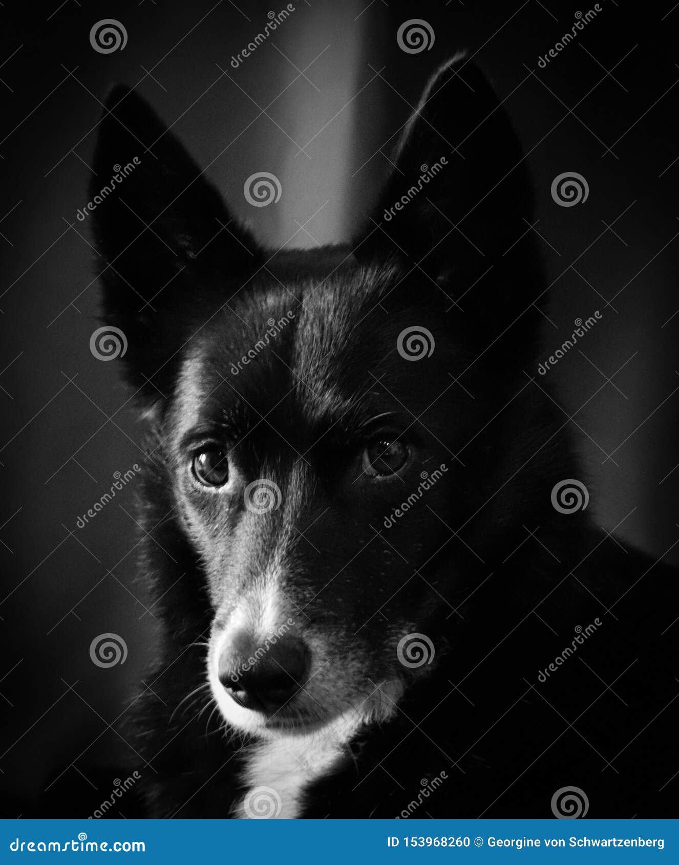 Miscela scozzese del husky del cane pastore di border collie