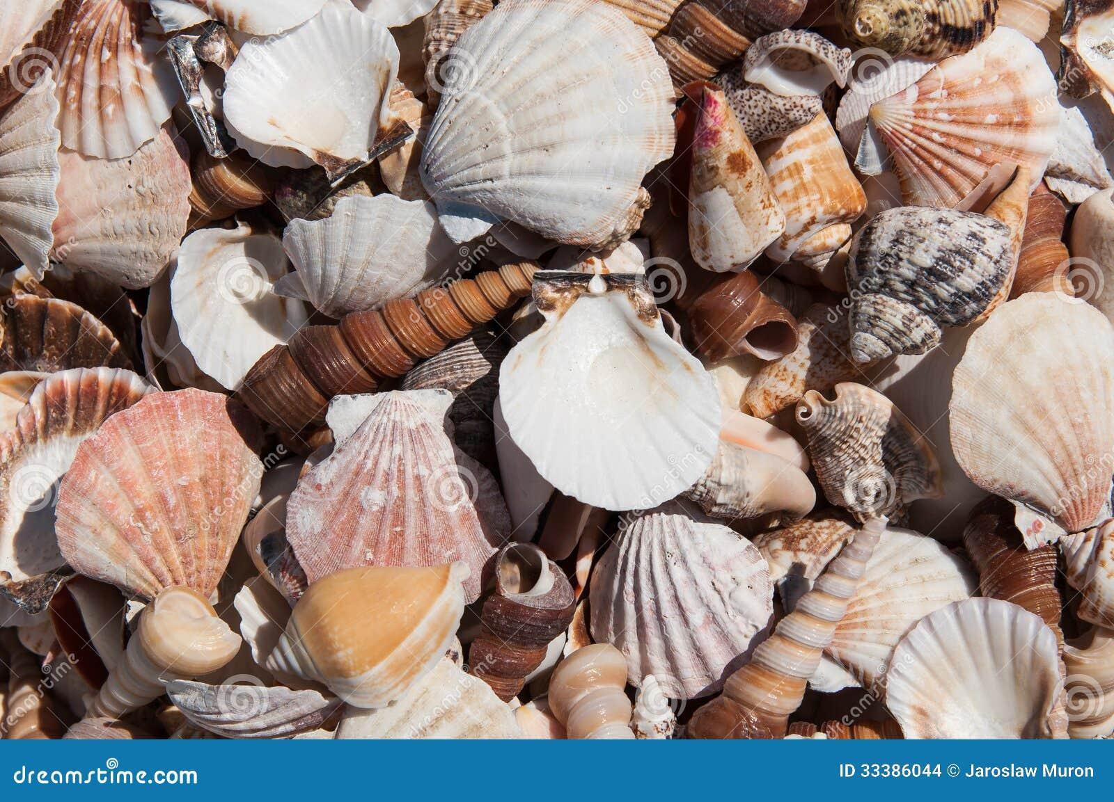 Miscellaneous sea shells