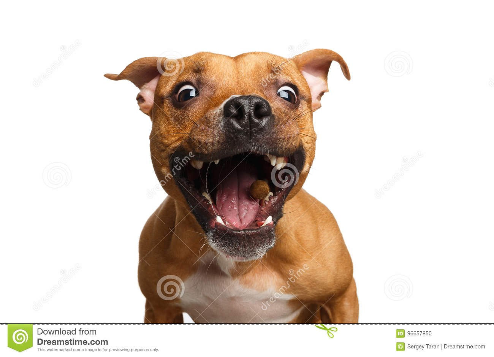 Mischlings-rote Hundefangfestlichkeiten