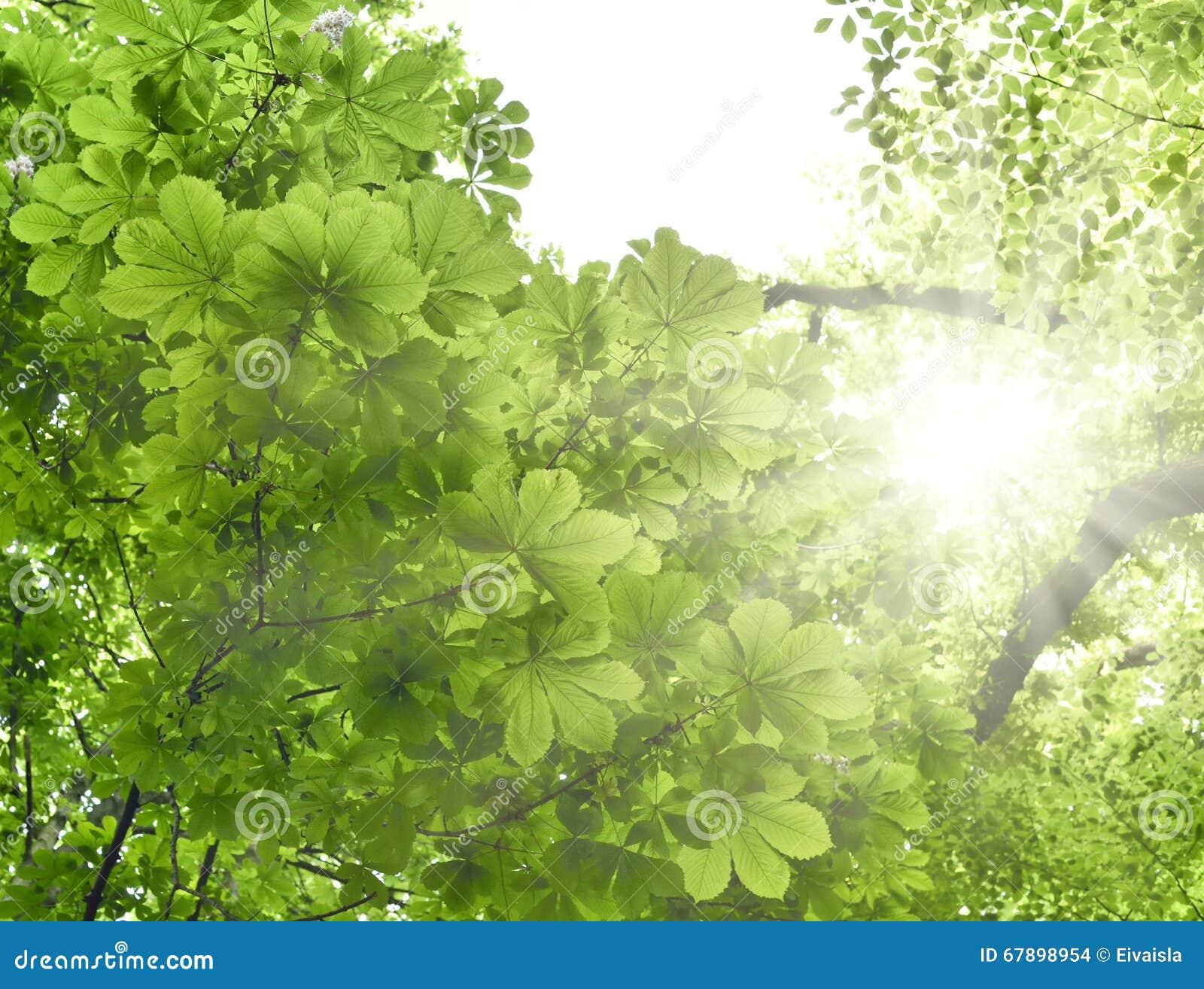 Mischwald mit Kastanienbaum- und Buchenbaum in der Sonne