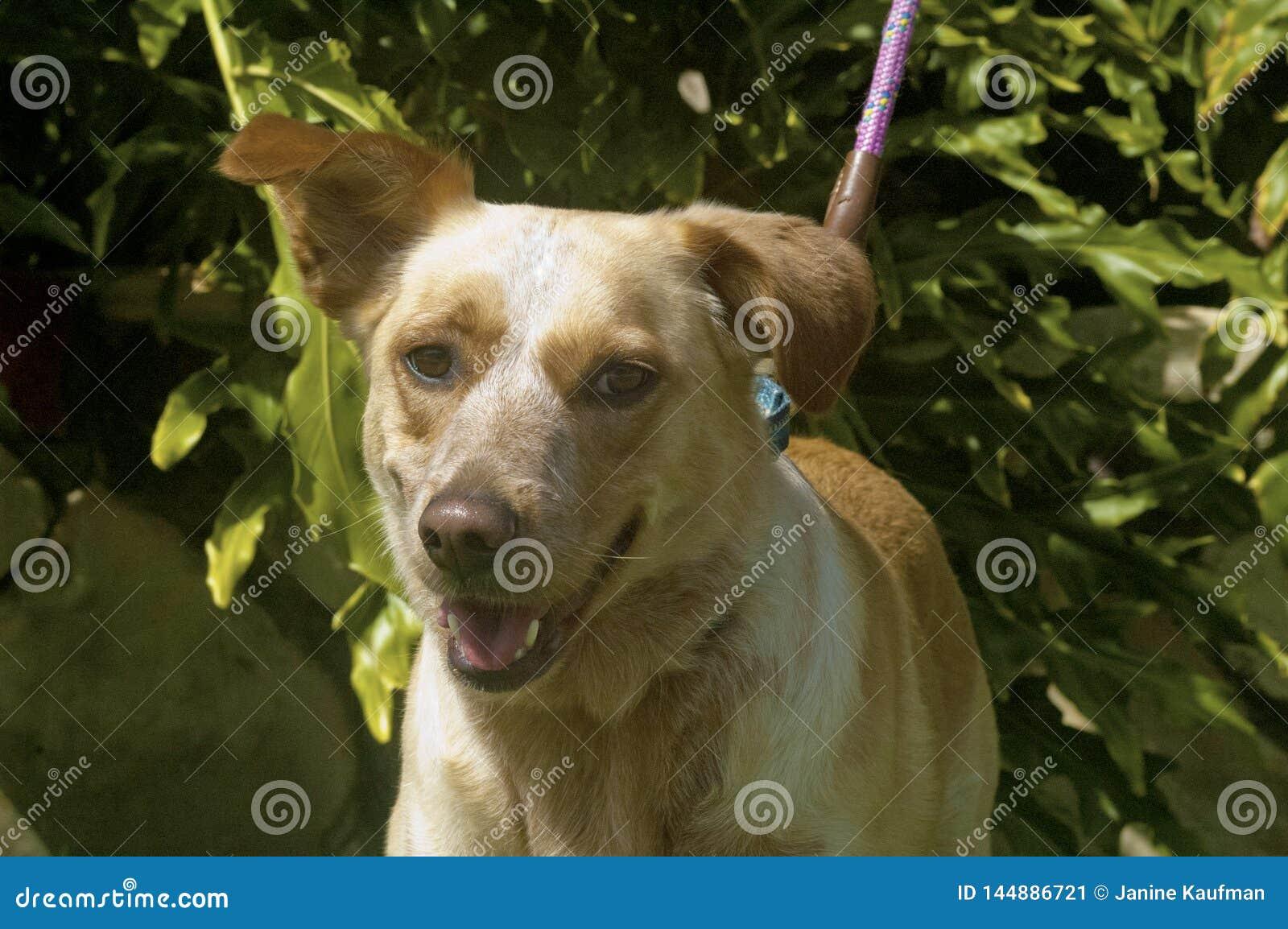 Mischzucht shepard und schlaffes ohriges Lächeln labrador retrievers