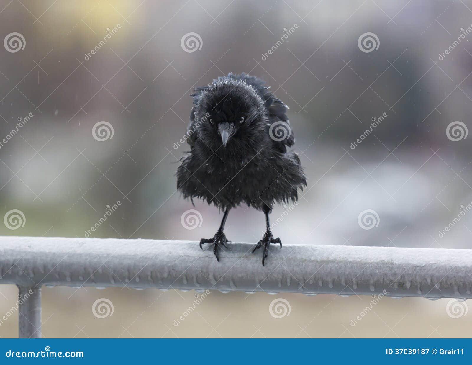 Miserable wet crow clutching balcony rail in the rain
