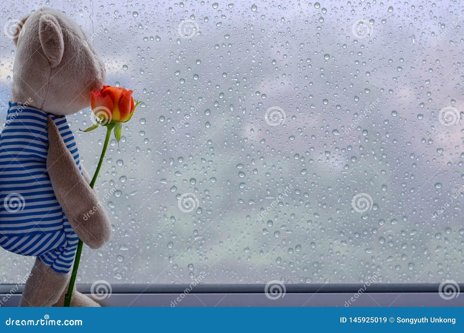 Misiów stojaki przy nadokiennym mieniem różanym i przyglądającym za okno od